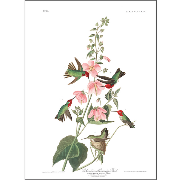 A3 bird vintage print showcasing columbian hummingbirds feeding nectar available at cuemars.com