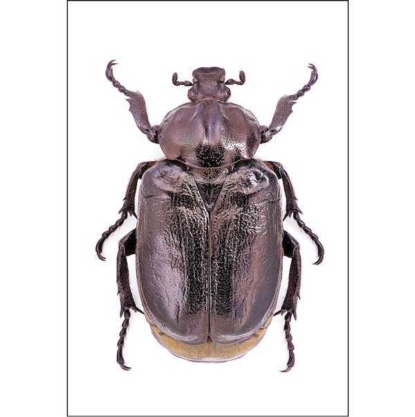 Dark Purple Beetle Insects prints Cuemars