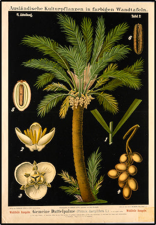 Date Palm Tree Vintage Botanical Prints Cuemars
