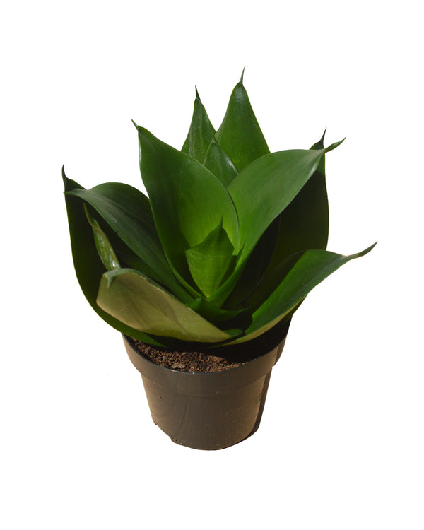 side picture of a sansevieria trifasciata black dragon 12 cm pot buy now at cuemars