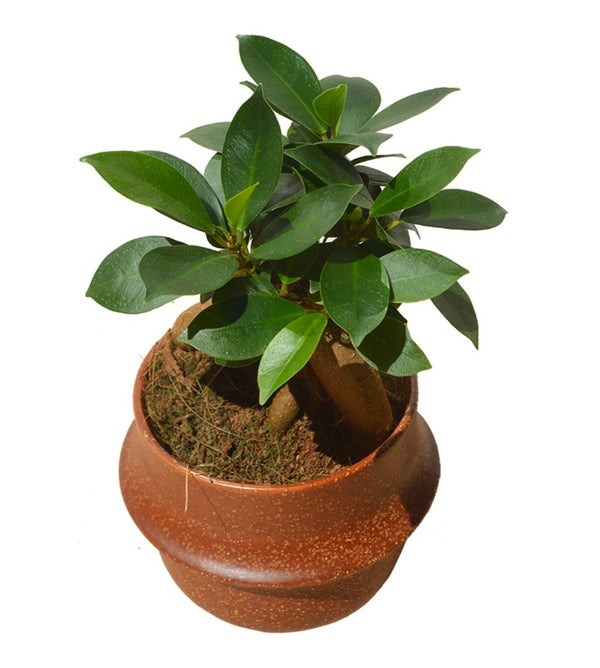 Side picture of a Ficus Ginseng Bonsai Tree available now at Cuemars