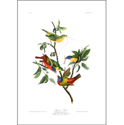 a3 bird vintage print by Audubo showcasing the splendor of a charm of colourful finches available at cuemars.com