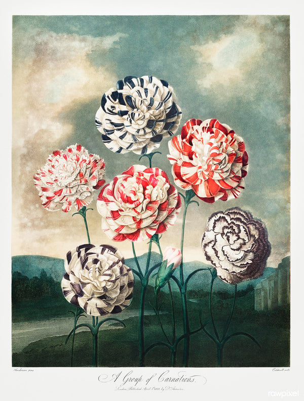 A3 botanical print by Robert John Thornton showcasing red, blue and white carnations available at cuemars.com