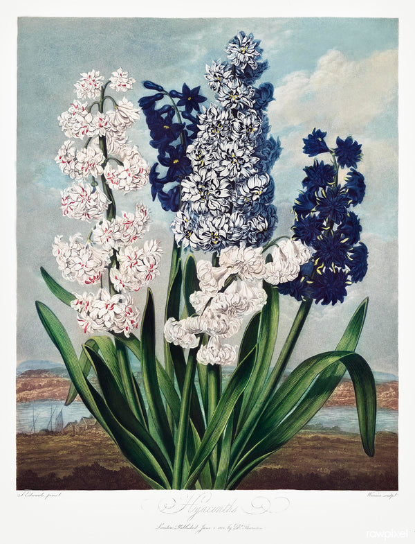 A3 botanical print by Robert John Thornton showcasing 5 varieties of hyacinths in blues and whites on a coastal landscape available at cuemars.com