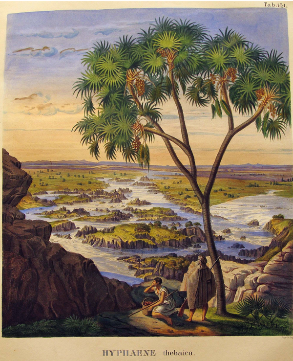 Hyphaene Thebaica Palm Tree by Carl Friedrich von Martius circa 1823 -1850. A3 Vintage Botanical Print and custom framing available at Cuemars