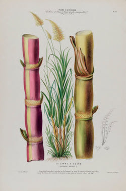 A3 botanical illustration by Ètienne Denisse showcasing 2 sugarcane in lilac and ochre available at cuemars.com