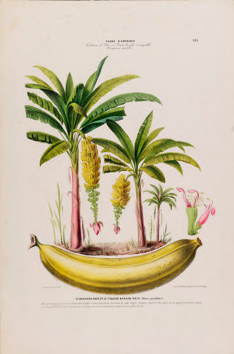 A3 botanical illustration by Ètienne Denisse showcasing 3 banana trees, a banana and flowers, available at cuemars.com