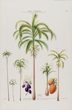 A3 botanical illustration by Ètienne Denisse showcasing different areca palm trees and flowers available at cuemars.com