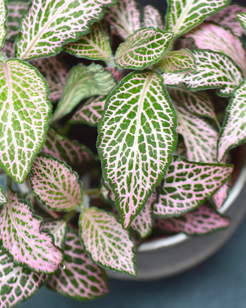 Light Pink Fittonia available at Cuemars