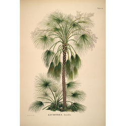 Livistona Humilis Palm botanical illustration cuemars