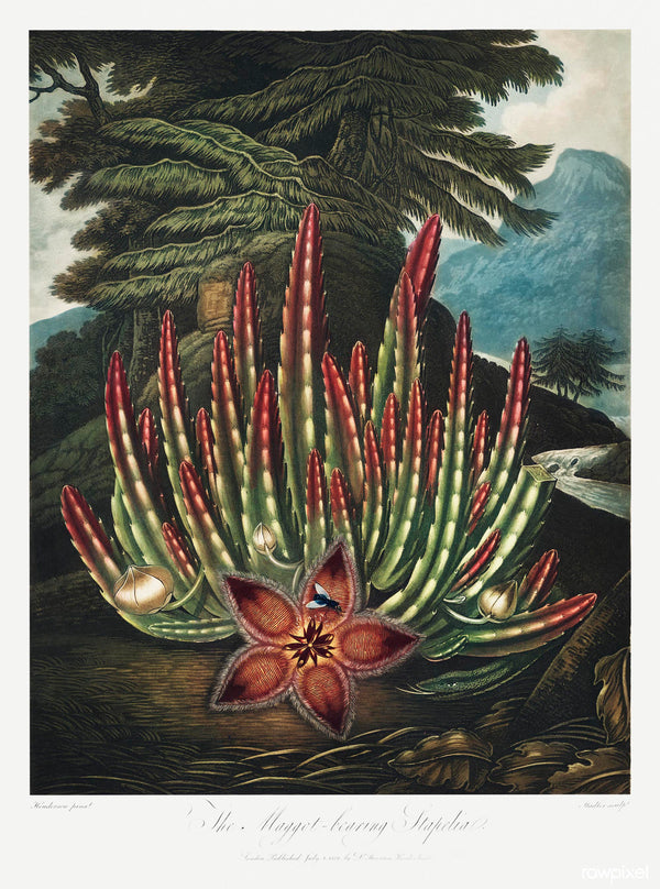 A3 botanical print by Robert John Thornton showcasing a red carrion plant  in a mountain landscape available at cuemars.com