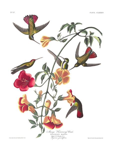 a3 bird vintage print by Audubon showcasing the splendor of the Mango Hummingbird available at cuemars.com