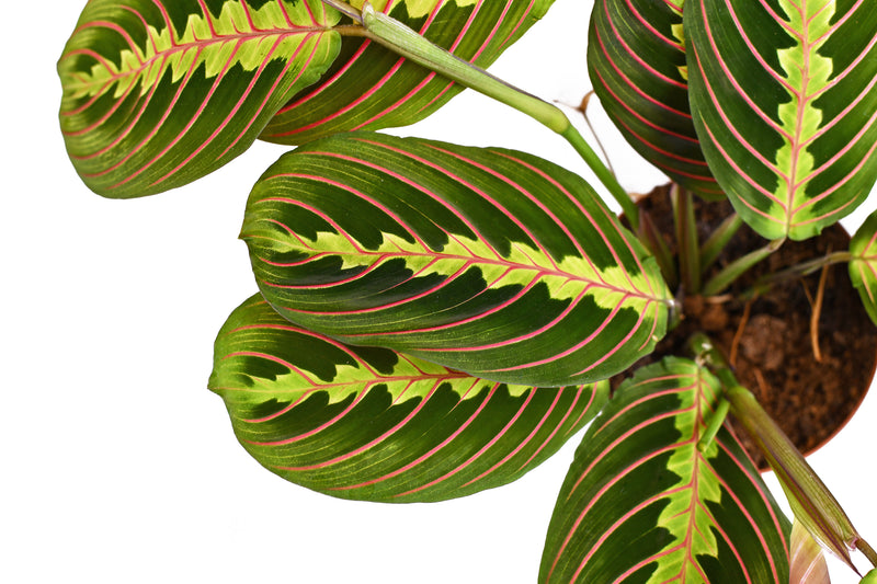 Close up picture of Maranta also known as Prayer plant available for UK delivery and at Cuemars Brick Lane shop