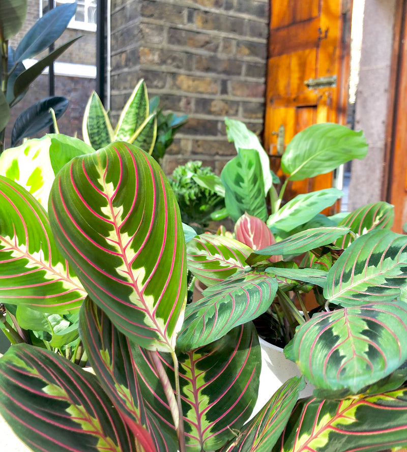 Maranta also known as Prayer plant available for UK delivery and at Cuemars Brick Lane shop