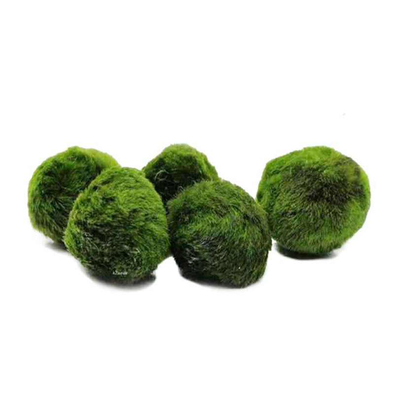 5 same size marimo moss balls available to purchase at cuemars