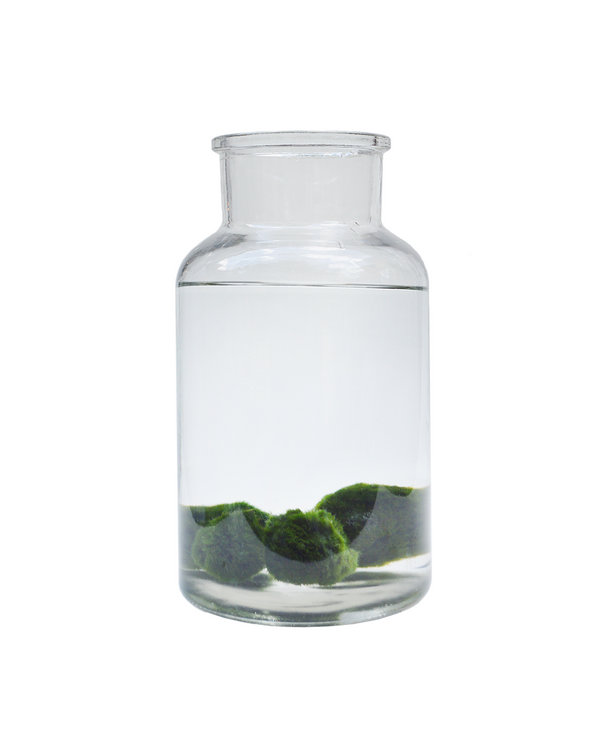 Marimo Moss Balls in a geometric jar to create an indoor water garden
