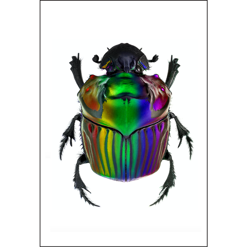 Oxysternon Oil Slick Dung Beetle A3 Insect Print | Available at Cuemars