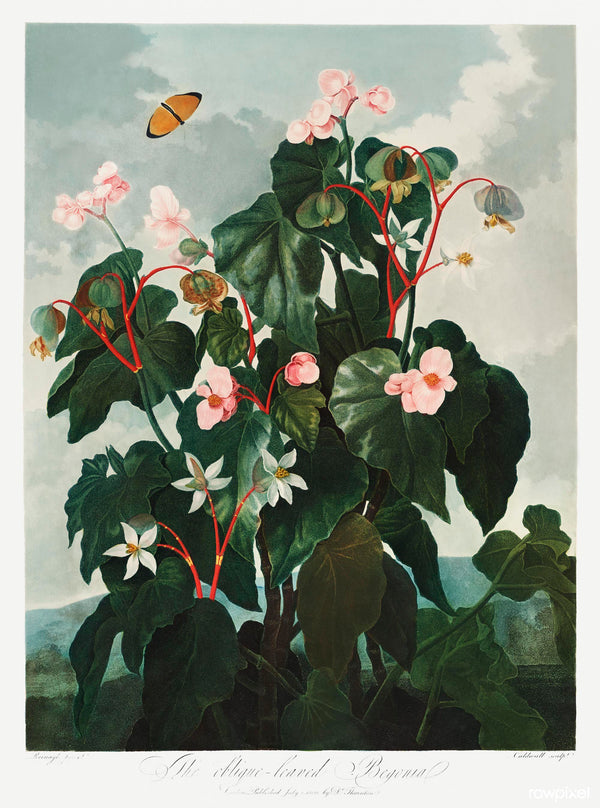 A3 botanical print by Robert John Thornton showcasing an oblique leaved begonian available at cuemars.com