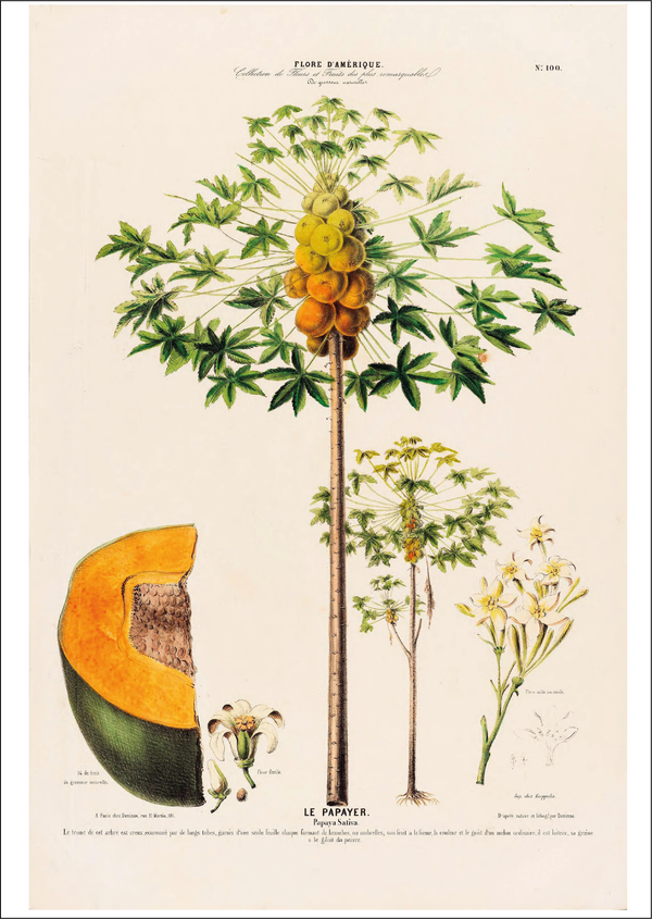 Papaya Tree vintage botanical illustration Cuemars