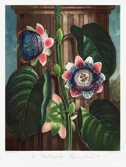 A3 botanical print by Robert John Thornton showcasing a pink, white and blue passion flower available at cuemars.com