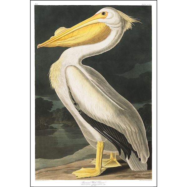 a3 bird vintage print by Audubo showcasing the splendor of the Pelican available at cuemars.com