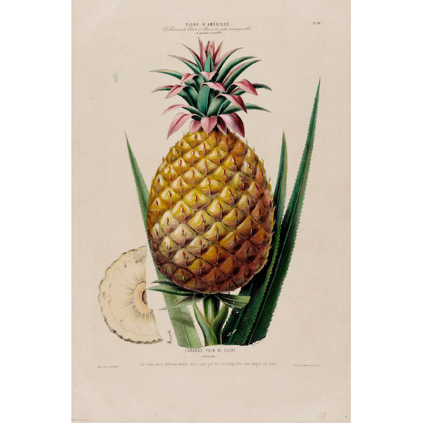 Pineapple-Pain-de-Sucre-vintage-Botanical-Illustration-Cuemars