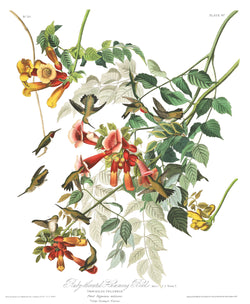 A3 bird vintage print showcasing ruby throated hummingbirds feeding nectar available at cuemars.com