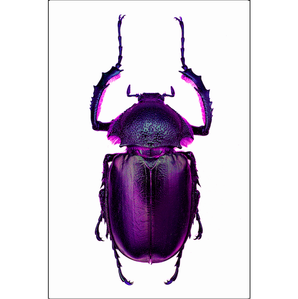 Scarabee-Purple-Insect-print-cuemars
