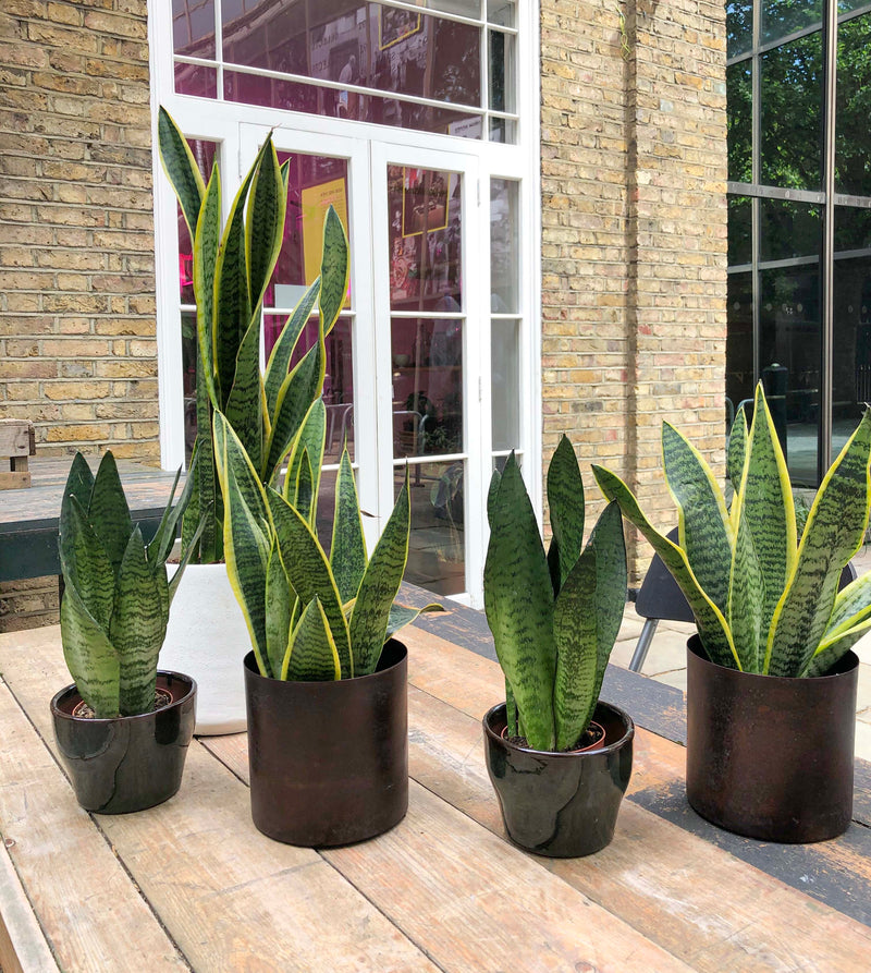 Mixture of Sansevierias Snake Plant, find this air purifying indoor plant at our Shoredicht plant shop in London