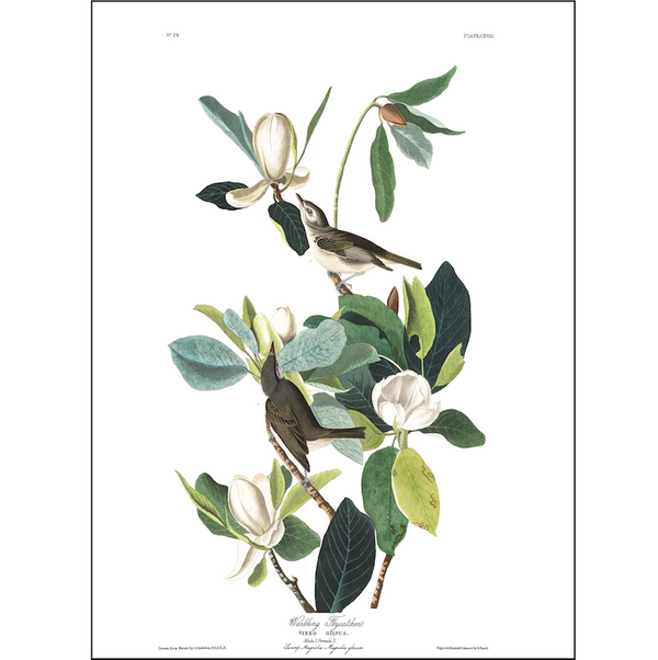 a3 bird vintage print by Audubo showcasing the splendor of the American Warbling Flycatcher available at cuemars.com