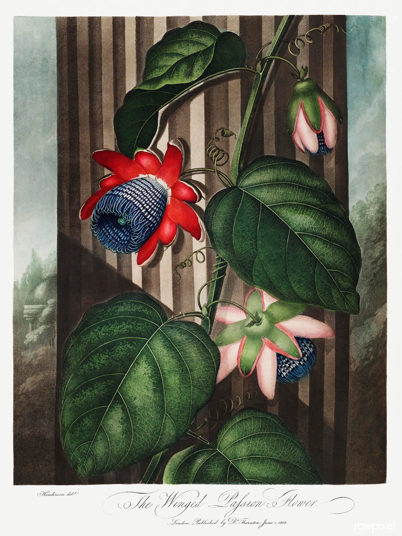 A3 botanical print by Robert John Thornton showcasing a red and blue winged passion flower  available at cuemars.com