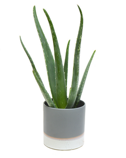 Aloe Vera House Plant | Now at Cuemars, London House Plants with Home Delivery UK