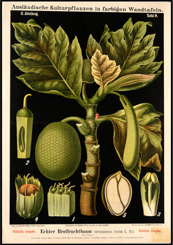 Botanical Print featuring Vintage Study of Breadfruit Plant. A3 Wall Print available at Cuemars London.