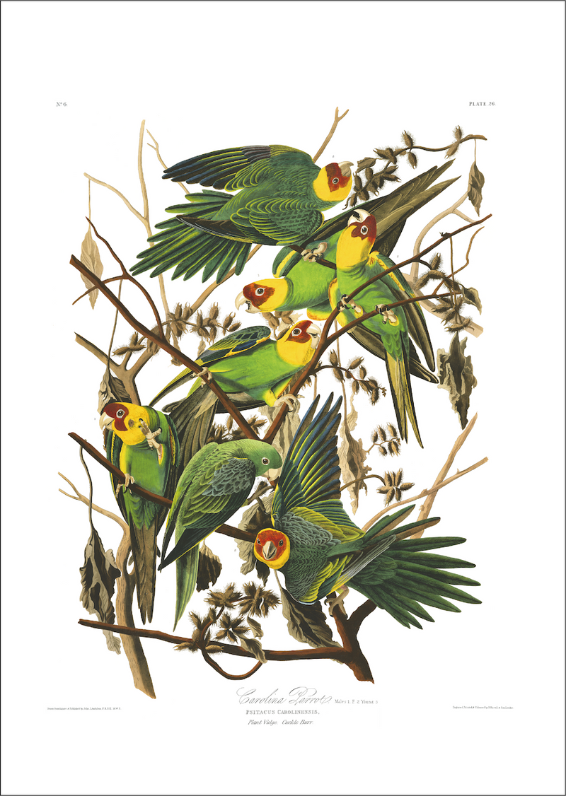 a3 bird vintage print by Audubo showcasing the splendor of the Carolina Parekeets available at cuemars.com