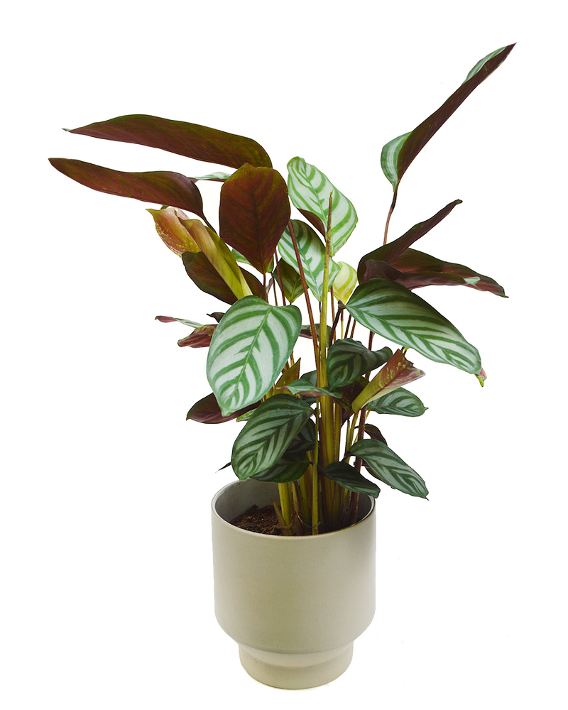 Calathea Compact Star House Plant Delivery London Cuemars