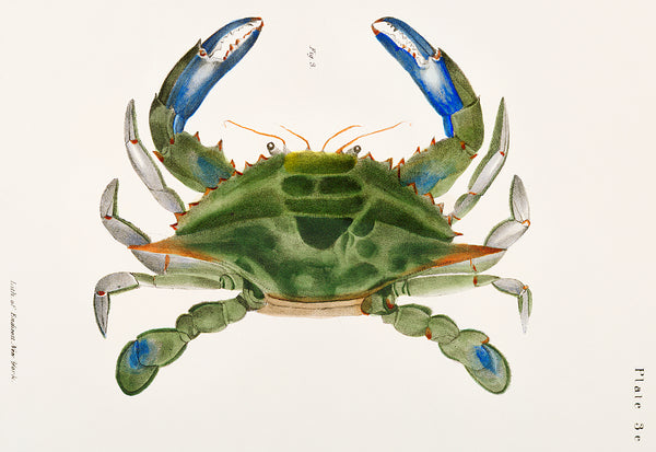 Blue Crab Study by J. Ellsworth De Kay - Vintage Aquatic Print