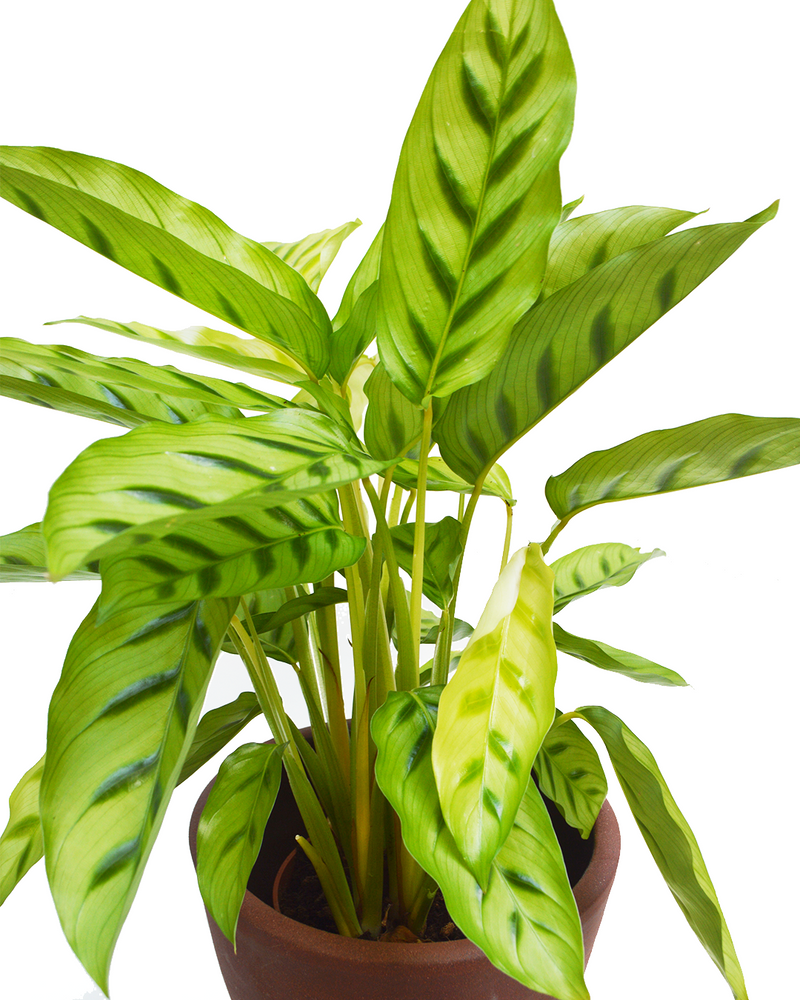 Calathea Leopardina House Plant Delivery London Cuemars