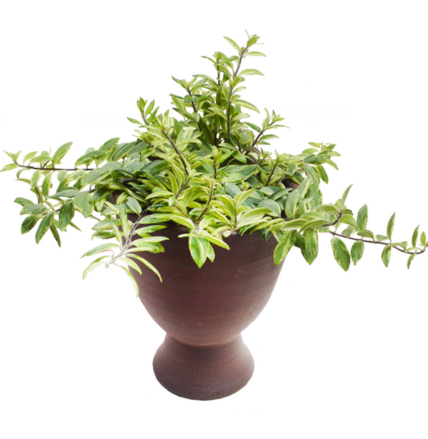BORDEAUX ceramic plant pot - 2 Sizes