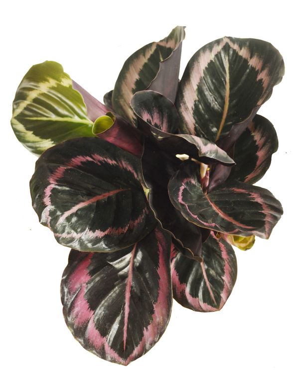 Calathea Dottie House Plant Delivery London Cuemars