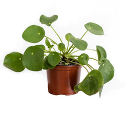 Chinese Money Plant or Pilea, available for collection at Cuemars, plant shop in Shoreditch or for UK delivery