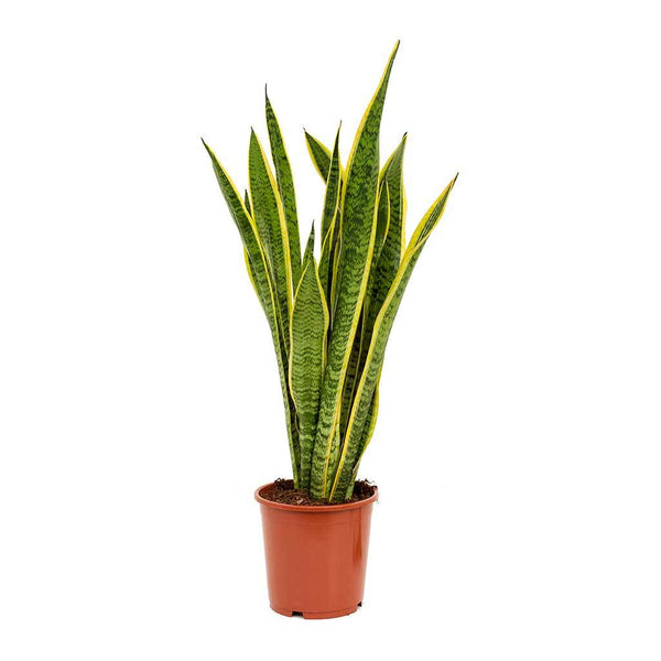 Large Sansevieria Snake Plant, find this air purifying plant at our Shoredicht plant shop in London