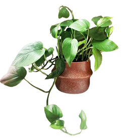 Devil's Ivy - Epipremnum aureum - For Collection