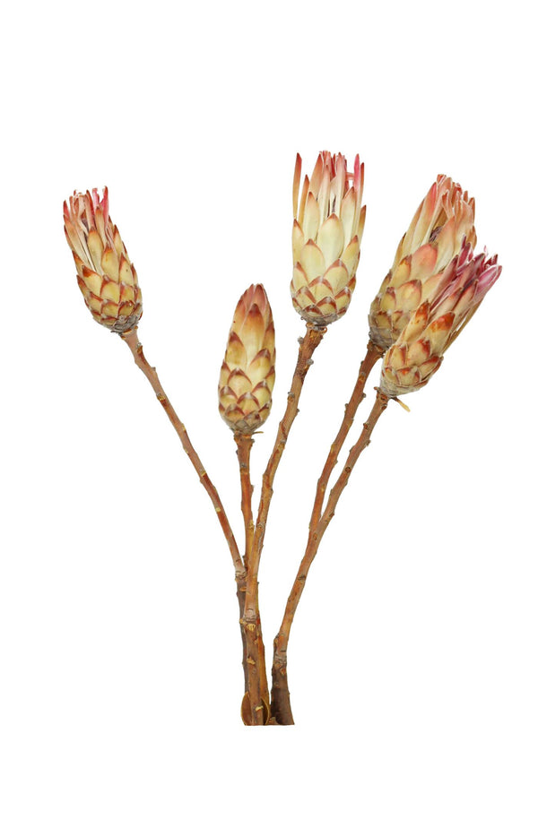 Bunch of Dried Protea Compacta (Pink) - Dried Flower Bouquets UK available at Cuemars.com