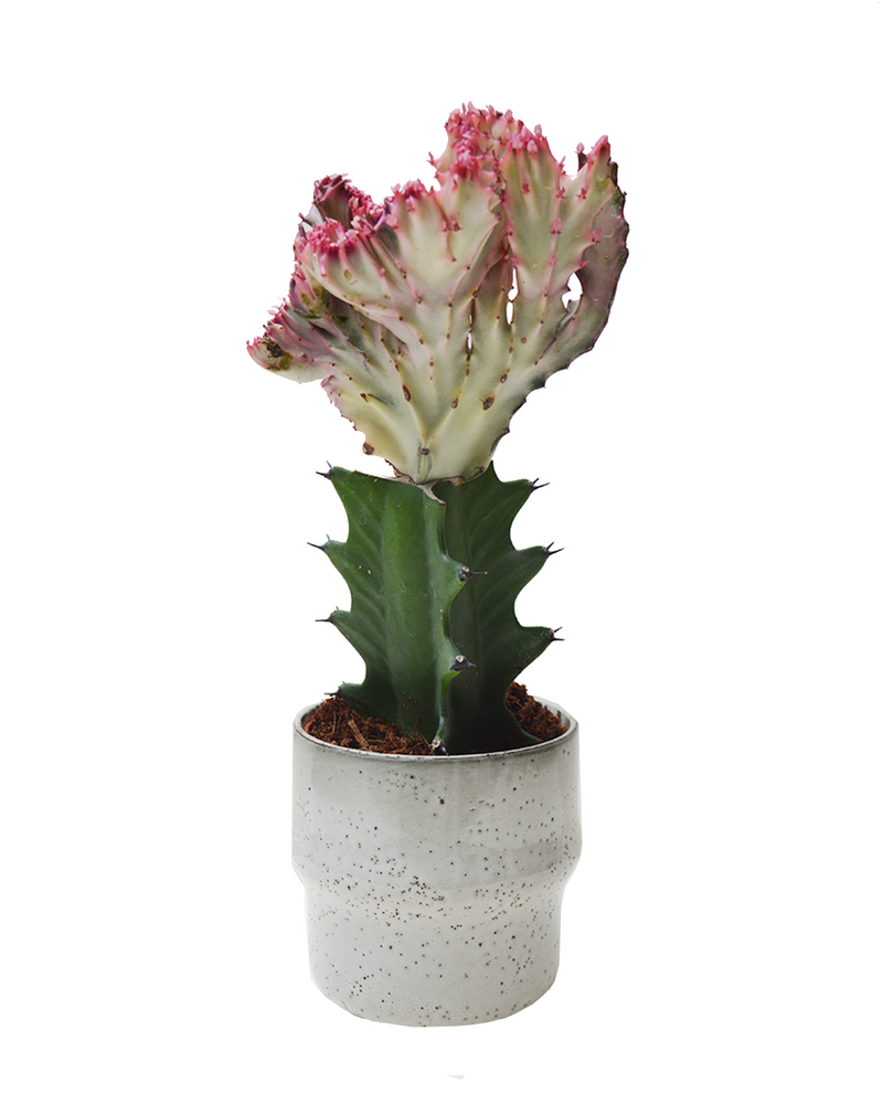 euphorbia lactea cactus small, available at cuemars