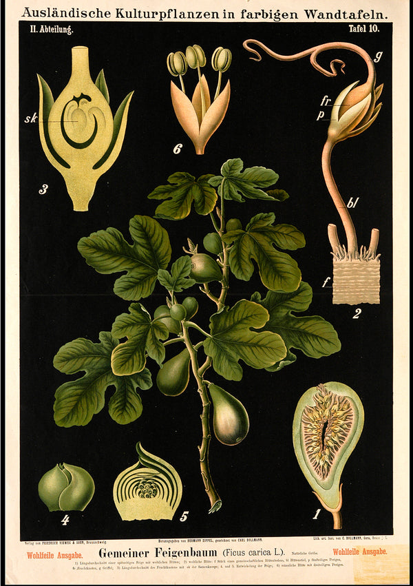 Botanical Print featuring Vintage Study of a Ficus Fig 'Carica' Tree. A3 Wall Print available at Cuemars London.
