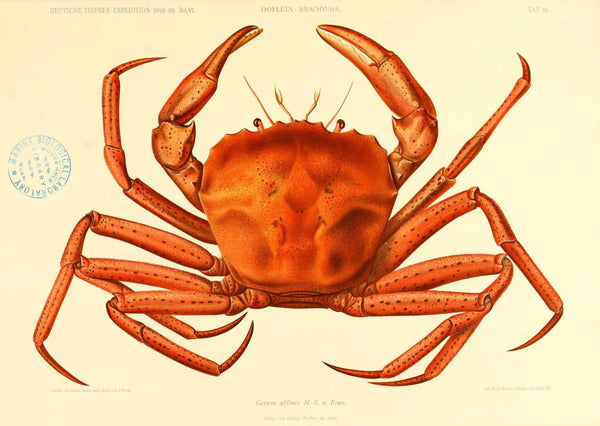 Vintage German Crab A3 Vintage Aquatic Print | Available at Cuemars