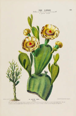 A3 botanical illustration by Ètienne Denisse showcasing a prickly pear cactus in bloom available at cuemars.com