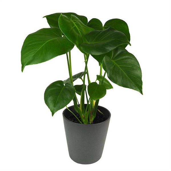 picture of the glossy leaves of a monstera deliciosa or swiss cheese plant in a grey pot available now at cuemars