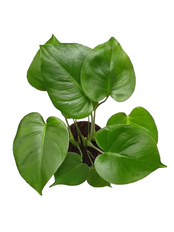 picture of the glossy leaves of a monstera deliciosa or swiss cheese plant available now at cuemars