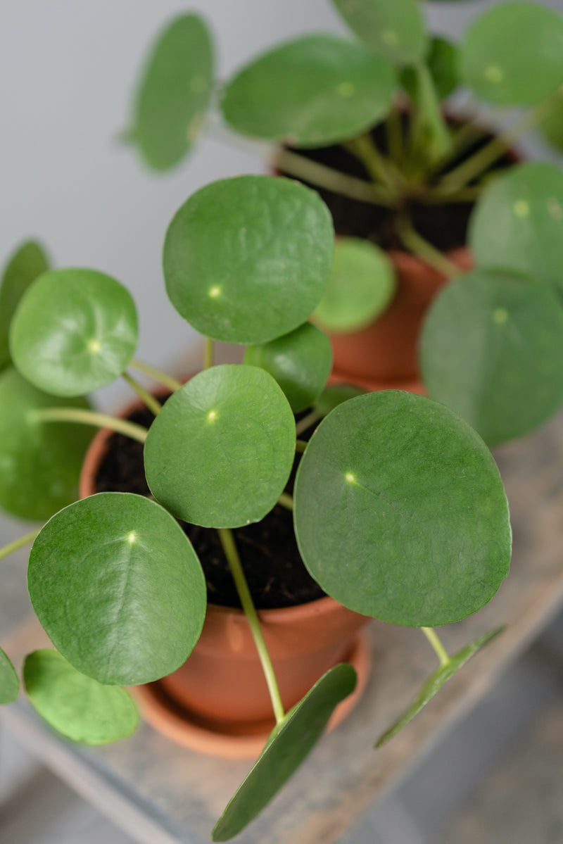 Picture of Chinese Money Plant or Pilea, available for collection at Cuemars, plant shop in Shoreditch or for UK delivery
